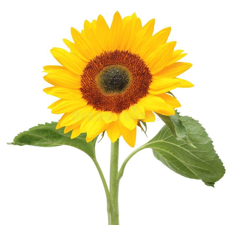 Reizender sonniger Sonnenblume Helianthus Annuus, Asteraceae lokalisiert auf weißem Hintergrund stockbilder