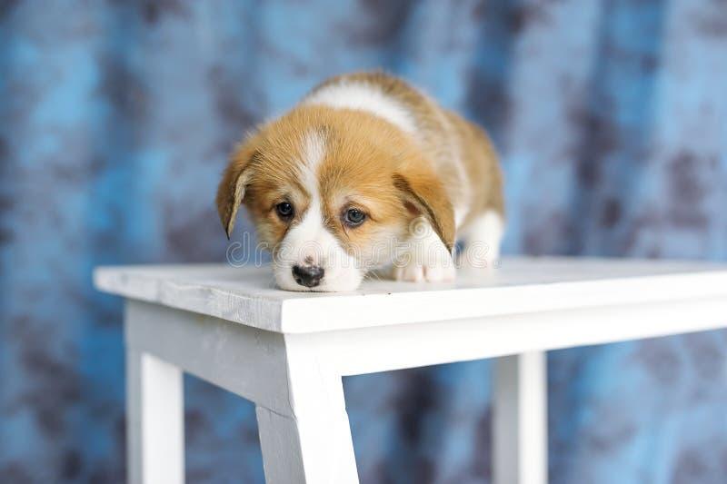 Reizendes Hündchenporträt, Hündchen legen auf hölzernem weißem Stuhl nieder lizenzfreies stockbild