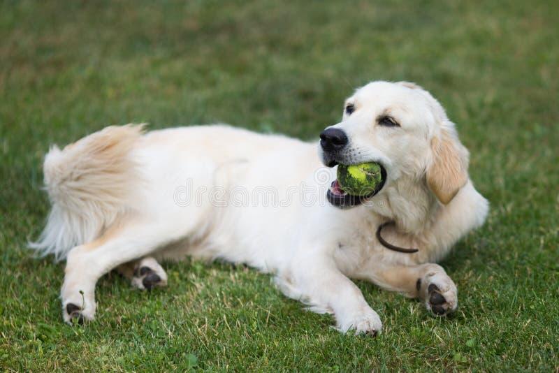Reizendes nettes golden retriever, das mit einem Ball auf grünem Gras spielt lizenzfreie stockbilder