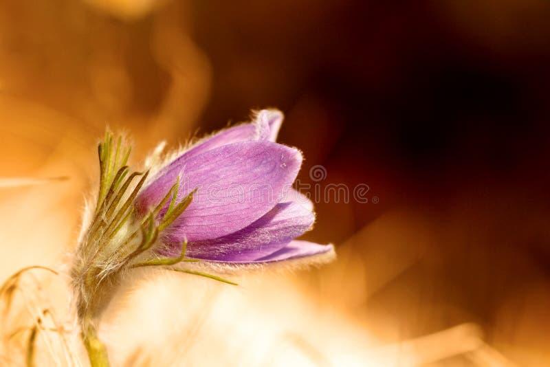 Reizendes Pasqueflower stockfotografie