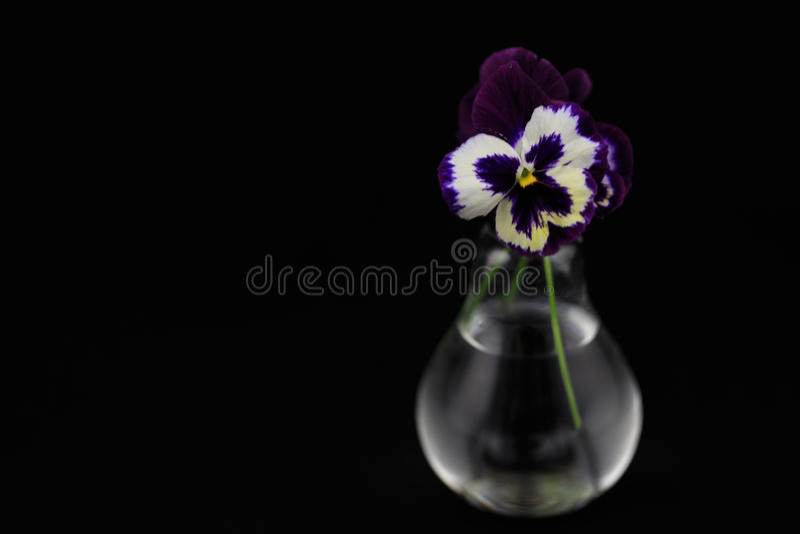 Reizendes Purpur blüht Veilchen auf einem lokalisierten schwarzen Hintergrund herein stockbild
