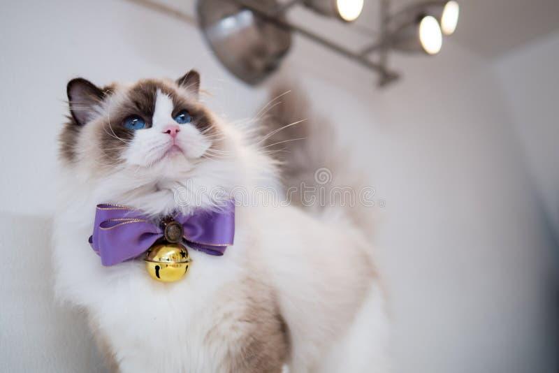 Reizendes ragdoll Katzenporträt mit schönen Farben und Mustern lizenzfreie stockbilder