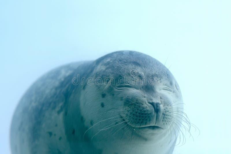 Reizendes Seehundbaby mit geschlossenen Augen lächelt unter Wasser stockfoto