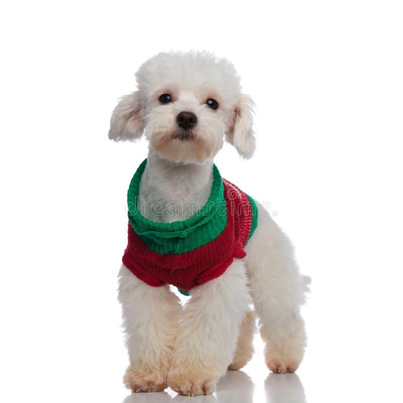 Reizendes stehendes bichon tragende Weihnachtsstrickjacke lizenzfreies stockbild