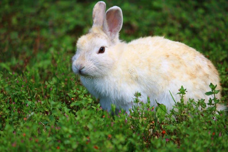 Reizendes und würdevolles hellfarbiges Kaninchen in einer Wiese stockfotos