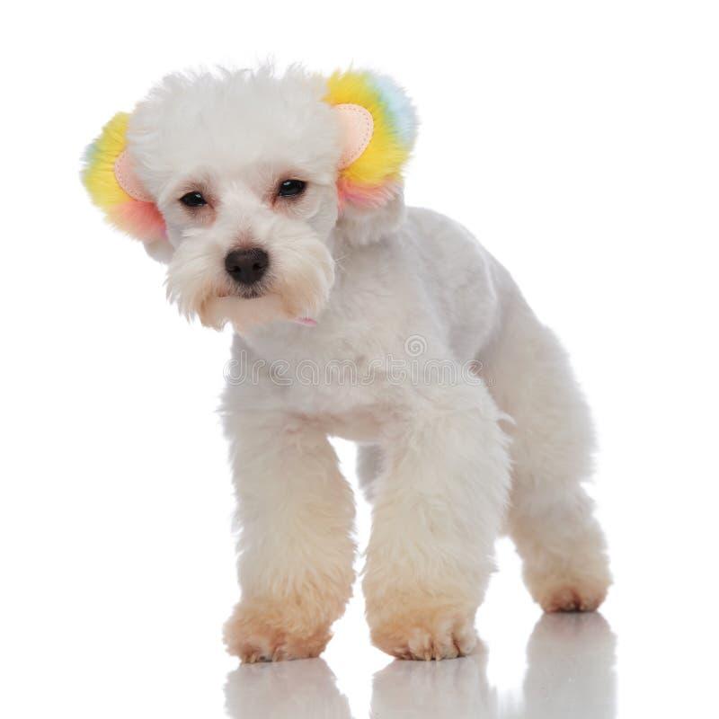 Reizendes weißes Pelz-bichon, welches die bunte Ohr-Stellung trägt stockfotos