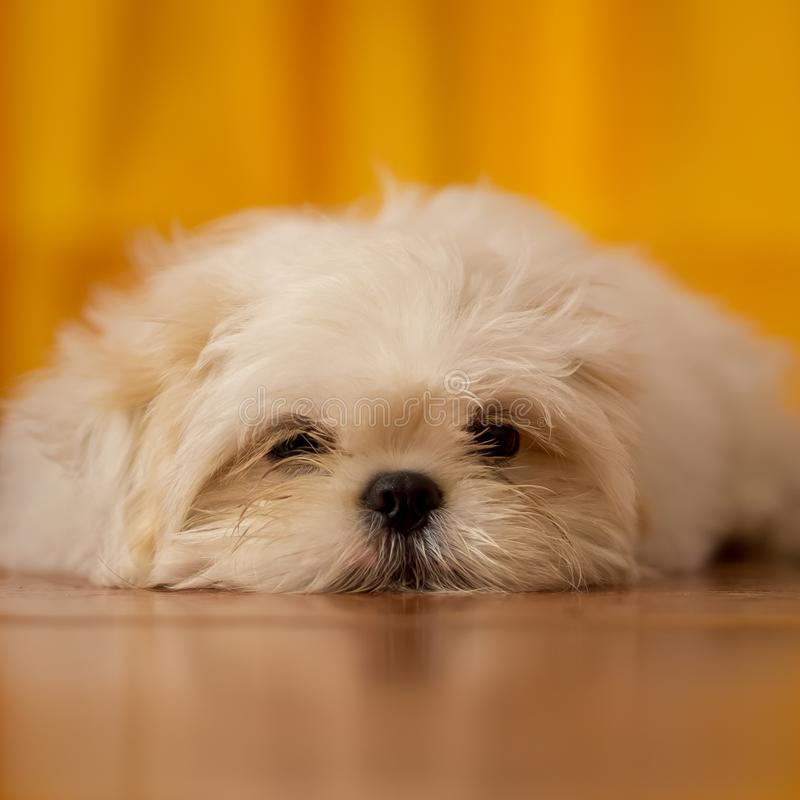 Reizendes weißes Shih Tzu Puppy stockbild