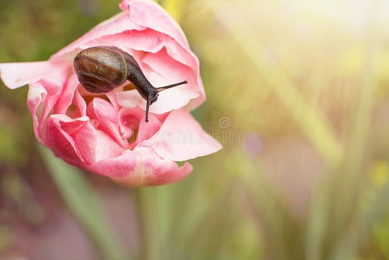 Reizigersslak die op een tulp in de zon kruipen royalty-vrije stock foto's