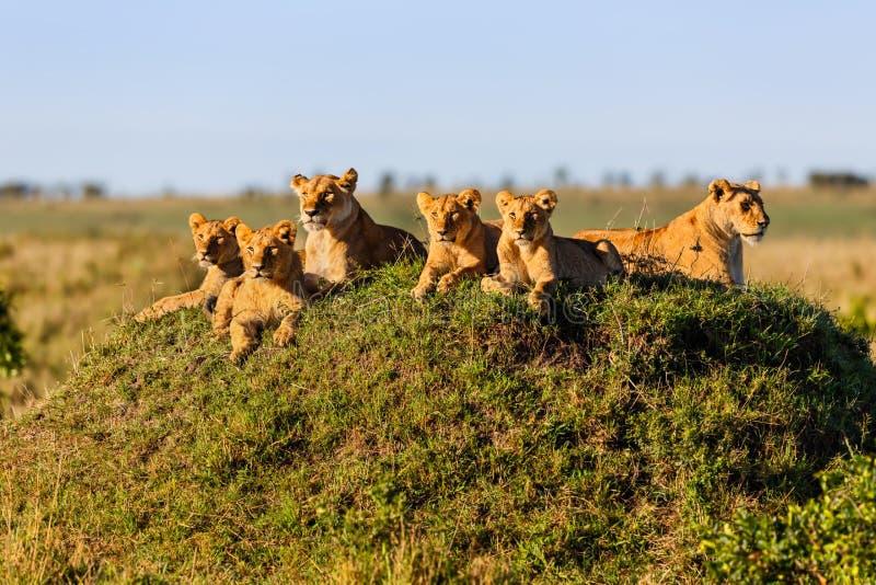 Rekero在马塞语玛拉的狮子自豪感 免版税库存照片
