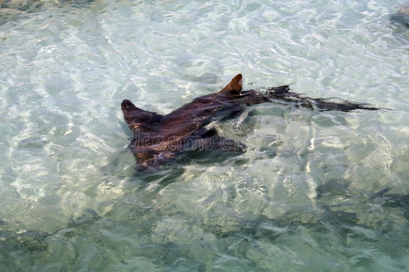 rekin karaibów zdjęcia stock