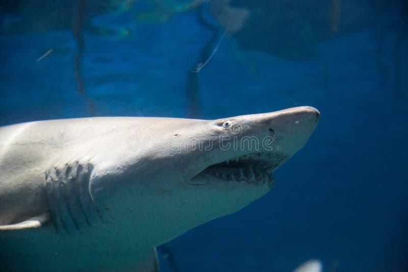 Rekin złowieszczy obraz stock