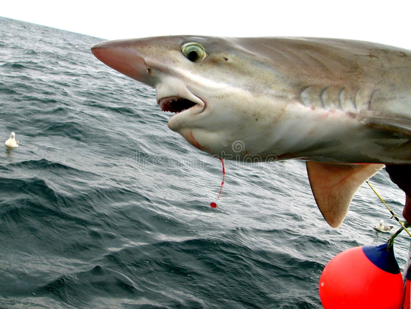 rekinku zdjęcia stock