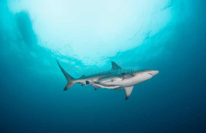 Rekinu pływacki koszt stały w błękitnym oceanie zdjęcia royalty free