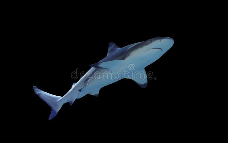 Rekinu pełnych rozmiarów odosobniony na czerni zdjęcia royalty free