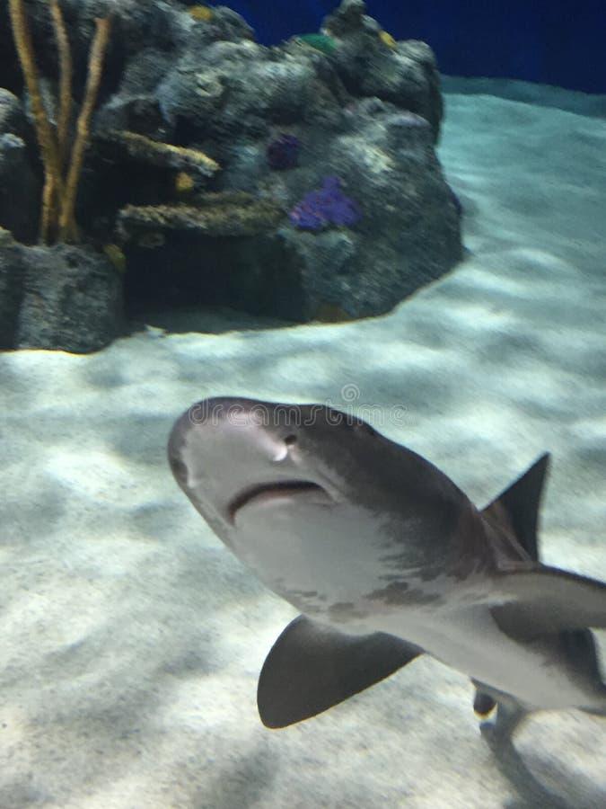 Rekinu uśmiech obraz royalty free