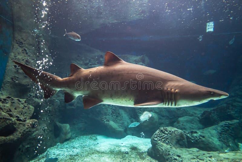 Rekinu underwater fotografia royalty free