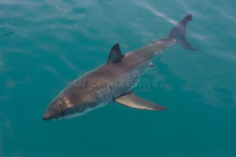 rekinu wielki biel zdjęcia stock