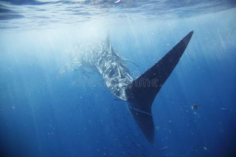 rekinu wieloryb obrazy royalty free
