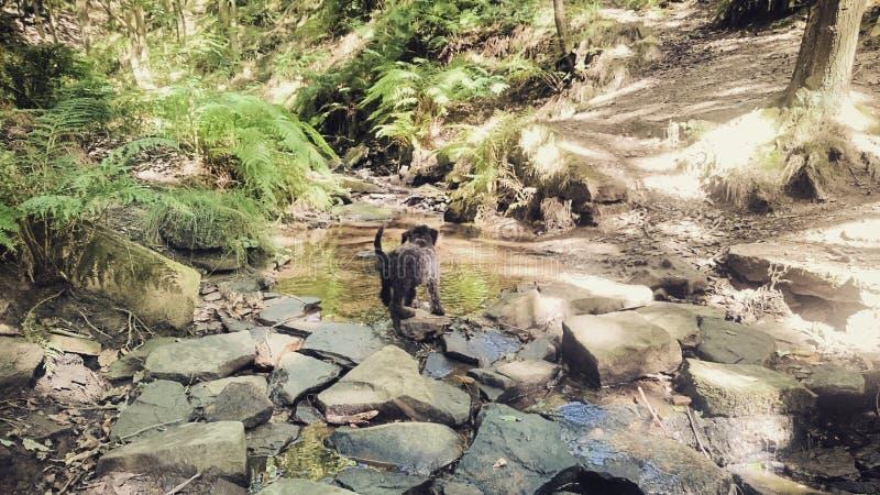 Rekonesansowy szczeniak zdjęcia royalty free