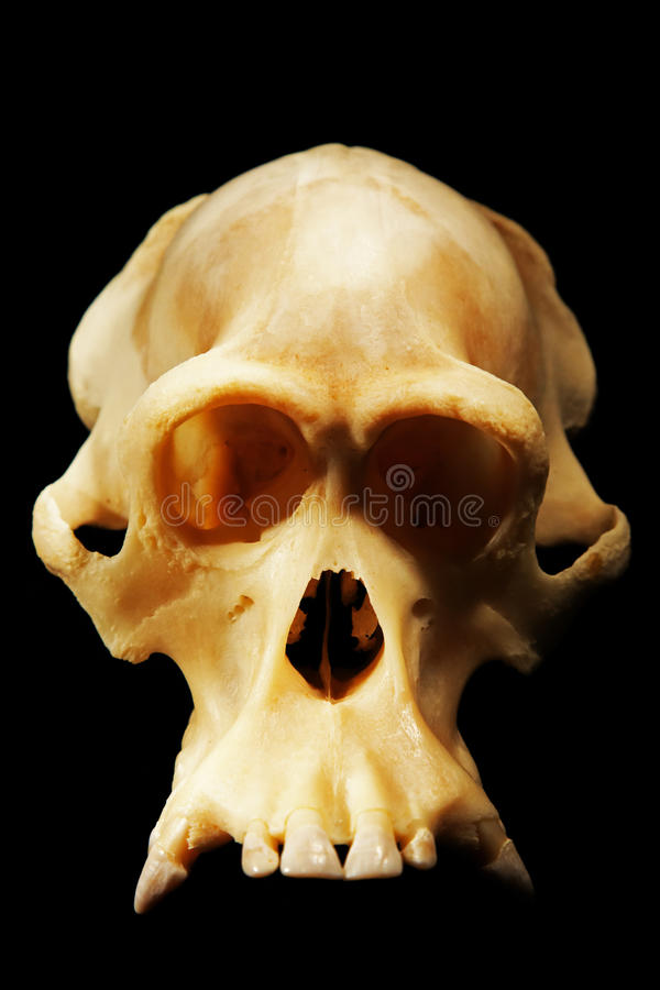 Rekonstruująca skamieniała czaszka orangutan, ludzki antenat i ludzka ewolucja, zdjęcia stock