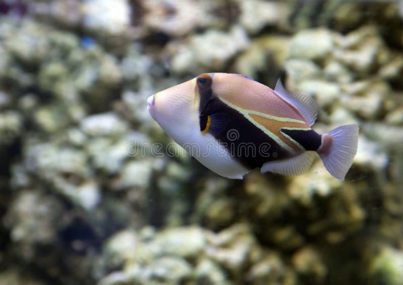 Rektangulär fiskPicasso Triggerfish royaltyfri fotografi