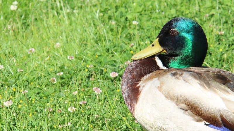 Relájese y tomando el sol una libertad del pato silvestre y felicidad masculinas de la vida imagenes de archivo