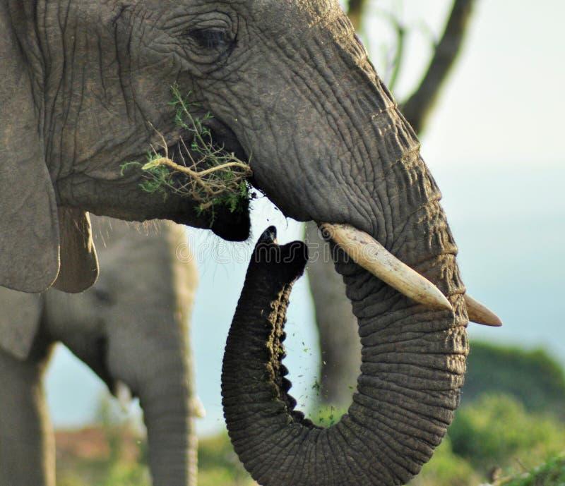 Relógio do elefante do amanhecer fotografia de stock