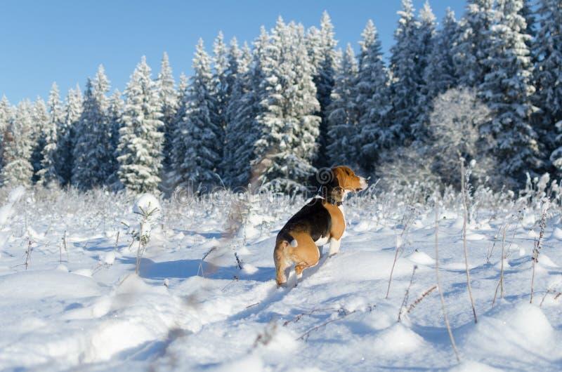 Relógio do lebreiro na estada do cão do caçador da floresta no campo nevado imagens de stock