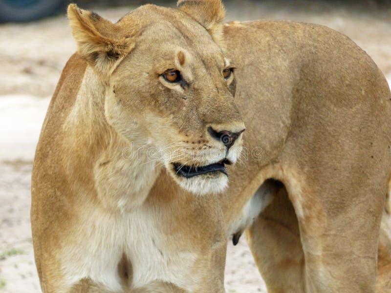 Relógios da leoa para o perigo fotografia de stock royalty free