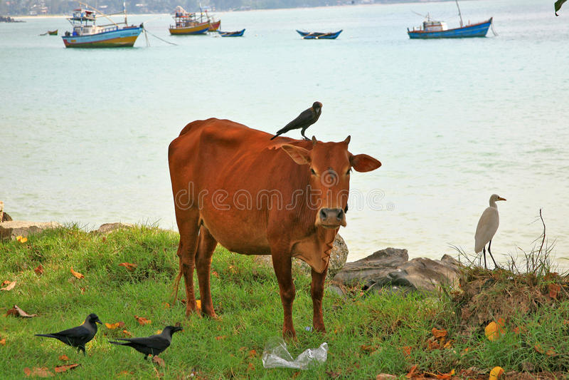Relacionamentos dos egrets de gado, dos corvos e das vacas em Sri Lanka fotos de stock