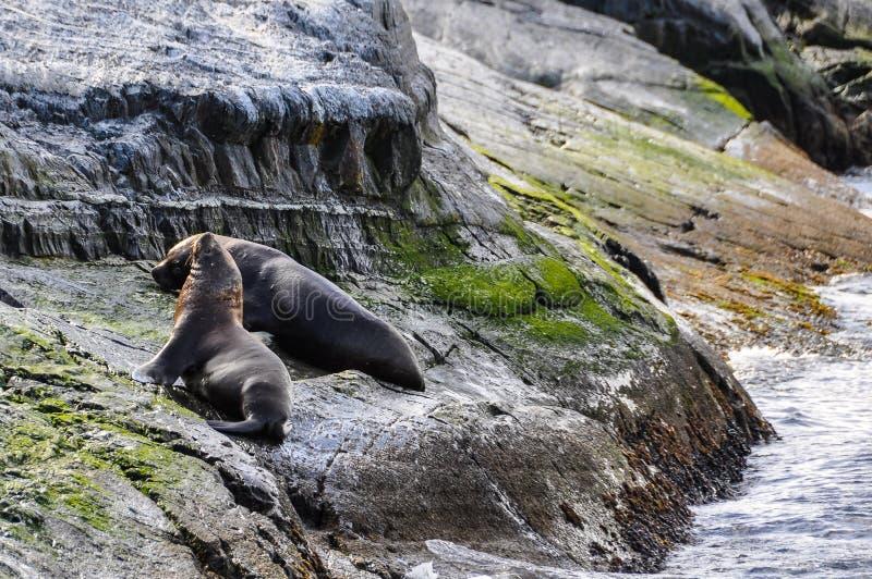 Relaksować foki, Beagle kanał, Ushuaia, Argentyna zdjęcie royalty free