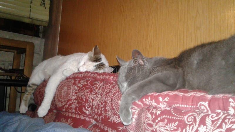 Relaksującego zmęczenia zmęczeni koty fotografia royalty free