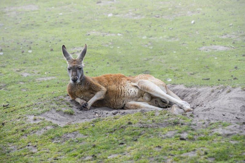Relaksujący czerwony kangura Macropus rufus - wielki wszystkie kangury obraz royalty free