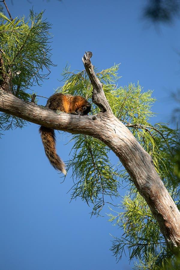 Relaksujący duży cyprysowy lis wiewiórki Sciurus Niger avicennia zdjęcie royalty free