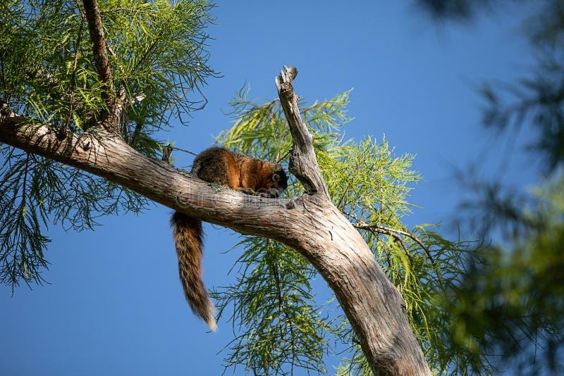 Relaksujący duży cyprysowy lis wiewiórki Sciurus Niger avicennia zdjęcia royalty free