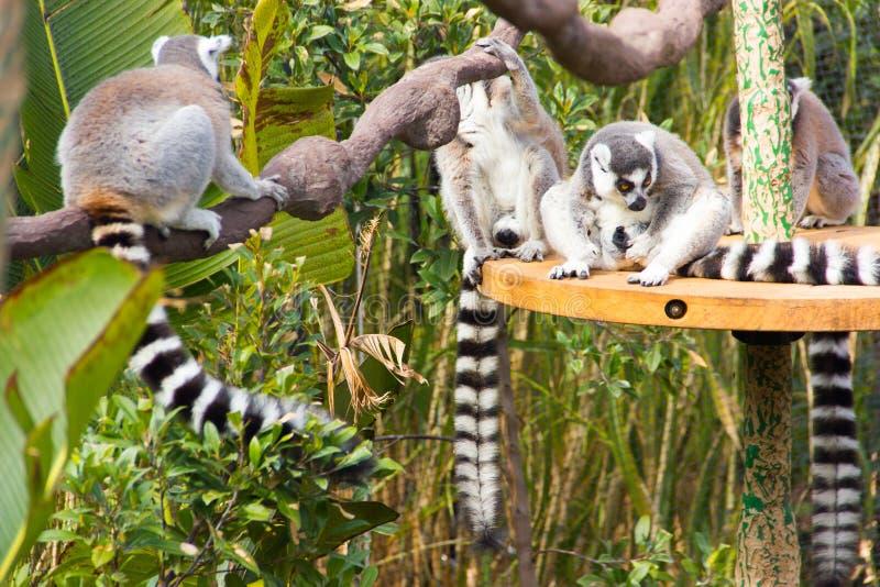 Relaksujący lemury zdjęcia stock