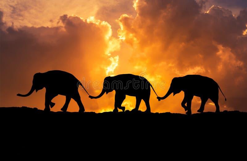 Relations d'éléphants de silhouette avec la queue de famille de prise de tronc marchant ensemble sur le coucher du soleil photos libres de droits