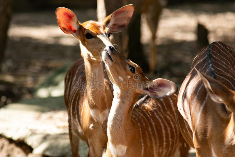 Baby nayala and adults nayala in herds stock photography