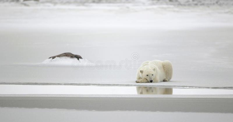 Relax. Polar bear in a native habitat. Snow. A frost. Winter stock photo