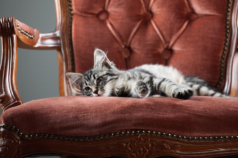 Download Relax stock image. Image of fluffy, animal, chair, pets - 33321399