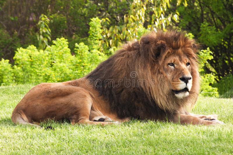 Resting lion on the green grass. Relax resting lion on the green grass royalty free stock images