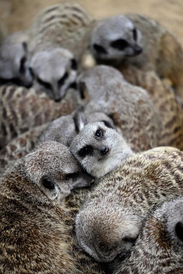 Relax of wild African Meerkat family. Some sleep and some looking. Photography of nature and wildlife royalty free stock images