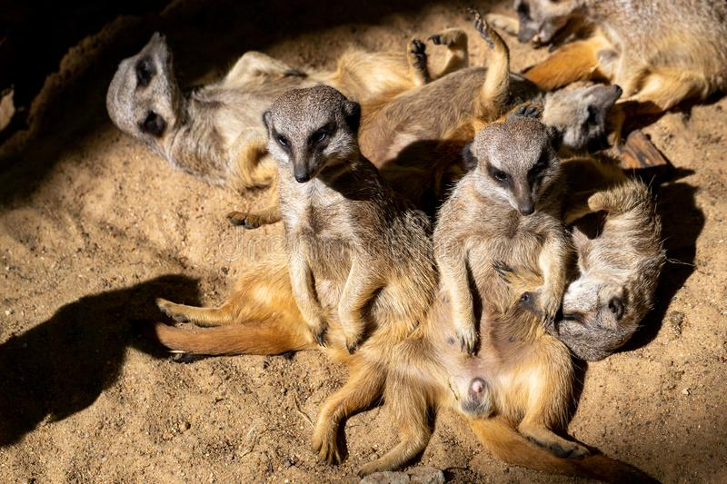 Relax of wild African Meerkat Suricata suricatta family. Some sleep and some enjoy the sun. Photography of lively nature and wildlife stock photo