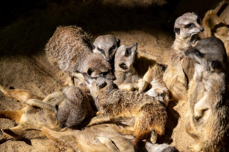 Relax of wild African Meerkat Suricata suricatta family. Some sleep and some enjoy the sun. Photography of lively nature and wildlife royalty free stock images