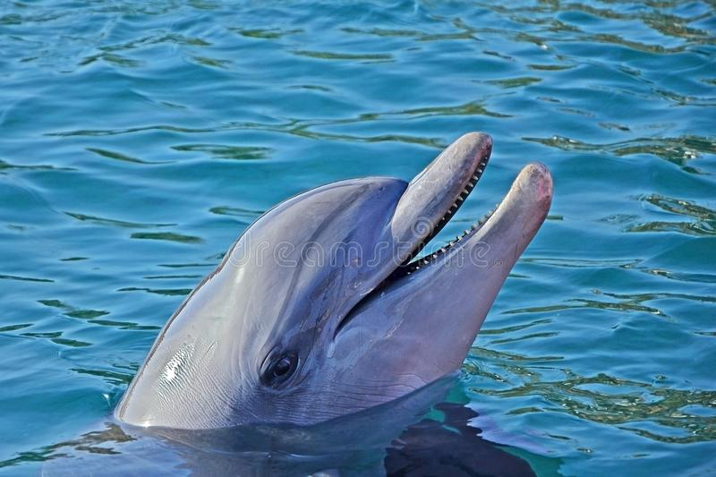 Relaxation dolphin emerged from the water and smile. Sunny day in the Dolphin Reef in Eilat, Red Sea in Israel stock photography