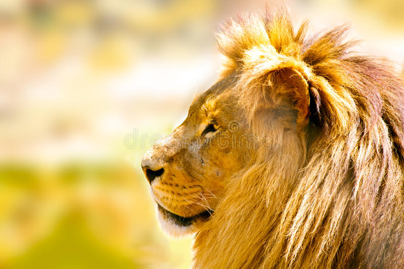 Relaxed African lion