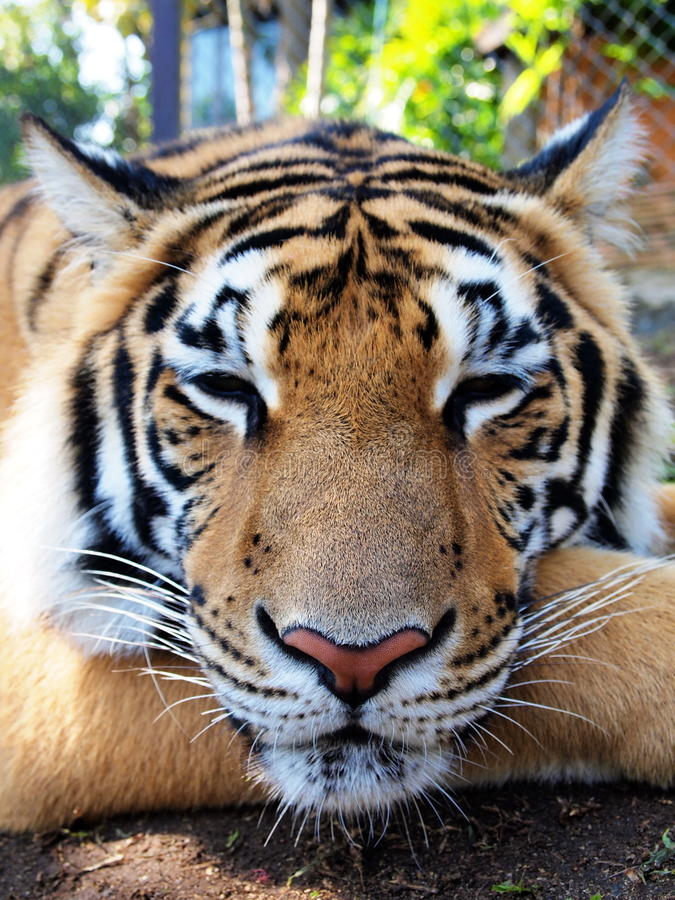 Relaxed Bengal Tiger stock photography