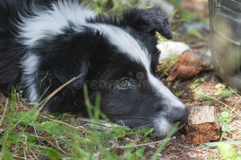 Relaxed Border Collie puppy royalty free stock photography