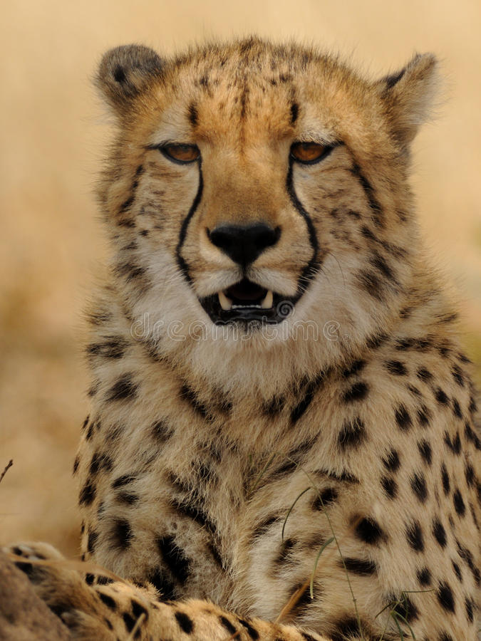 Relaxed Cheetah. This is a relaxed cheetah who is in the shadow of a tree stock image