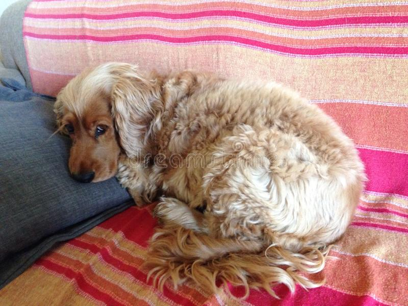 A relaxed cocker spaniel on a comfy couch stock photography